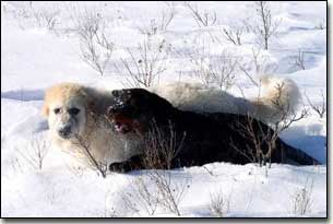 Great Pyrenees-Solomon and Rottie-Gabriel playing in the snow