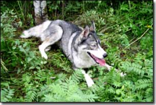 Husky-Isis laying with some ferns