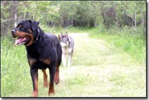 Husky-Isis following behind Rottweiler