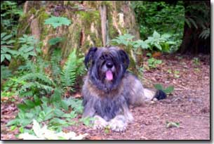 Briard-Artemis laying by a tree in BC