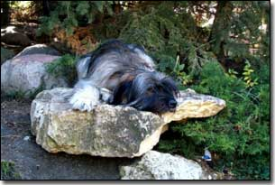 Briard-Artemis laying on a rock by a stream in BC