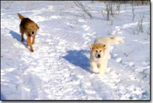 Great Pyrenees-Solomon and Terrier-Jake running in the snow