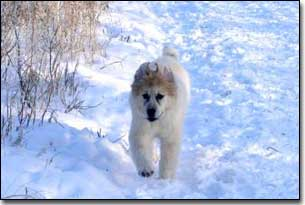 Puppy Great Pyrenees-Solomon running in the snow