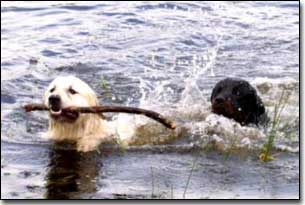 Great Pyrenees-Solomon fetching stick in water Rottie-Gabriel swiming beside