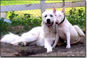 Great Pyrenees-Solomon with paw around Bull Terrier-Eva