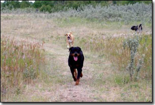 Rottie-Riot walking on a trail in the country