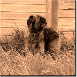 Briard-Artemis standing by building