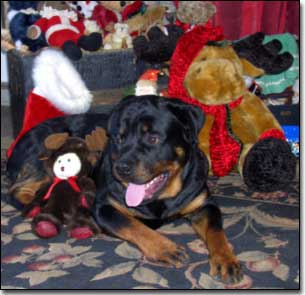 Rottweiler-Gabriel with Christmas toys