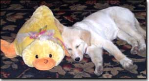 Labrador puppy sleeping with stuff duck toy