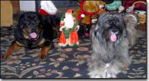 Rottweiler-Gabriel and Briard-Artemis with Christmas toys