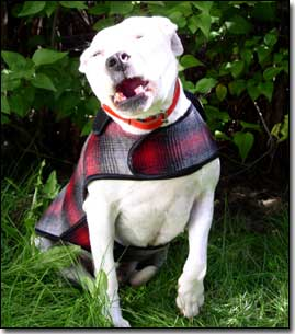 Staffie-Daisy wearing red and black coat talking