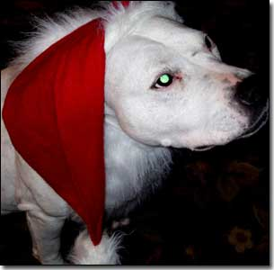 Staffie-Daisy with Santa hat