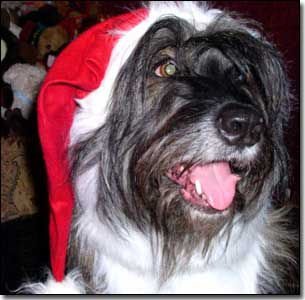 Briard-Artemis with Santa hat