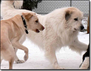 Great Pyrenees-Solomon, Labrador-Duke playing