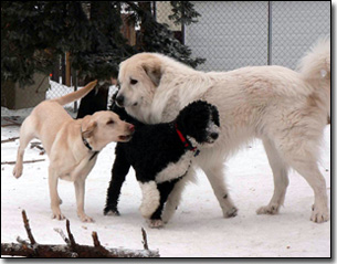 Great Pyrenees-Solomon, Labrador-Duke, Portie-Ella playing