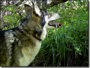 Husky-Isis panting in a shaddy spot in the forest