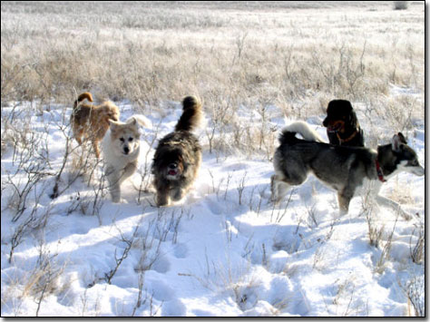 Terrier-Jake, Great Pyrenees-Soloman, Briard-Artemis, Husky-Isis and Rottie-Rex running in the snow