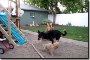 German Shepard, Labrador-Leon, and Tea-cup playing chase