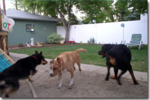 Shepard, Labrador-Leon, and Rottie-Riot playing chase