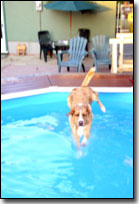 Labrador-Leon jumping in the pool