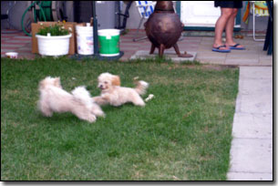 Odin and Tea-cup playing chase on the lawn