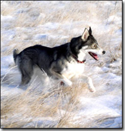 Husky-Isis running in the snow