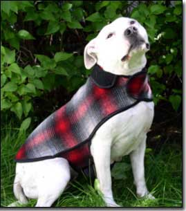 Staffie-Daisy wearing red and black coat in front of lilac tree