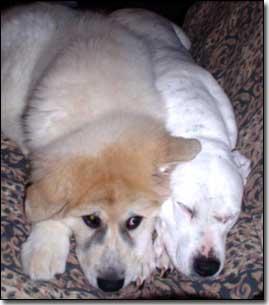 Great Pyrenees-Soloman and Staffie-Daisy squished together on couch